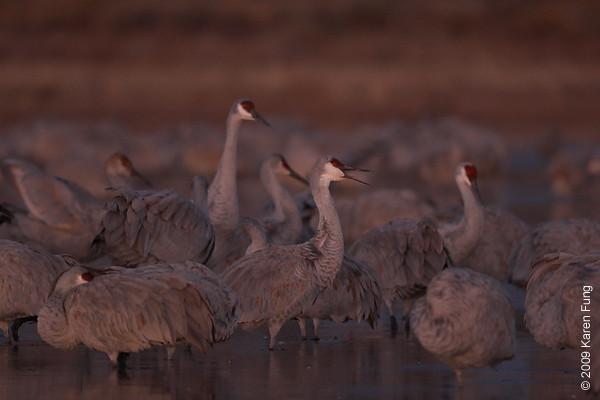 Nov 16th:  Sandhill Cranes at daybreak
