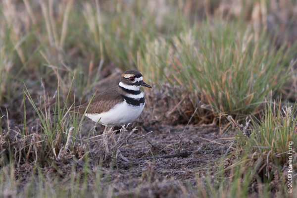 Nov 15th: Killdeer at the Crane pool