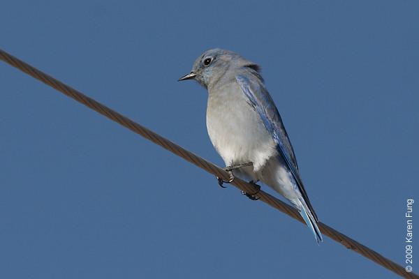 Nov 16th:  Mountain Bluebird in San Antonio, NM