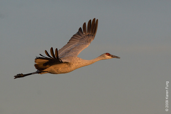 Nov 11th:  Sandhill Crane at dawn