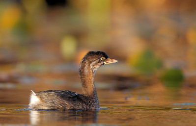 Pie Billed Grebe 1