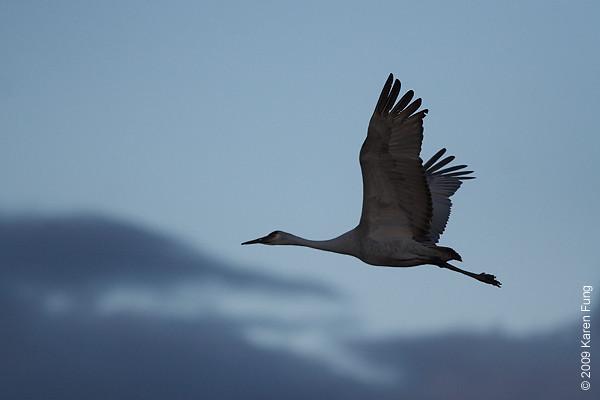 Nov 14th:  Sandhill Crane at dusk