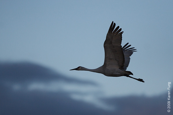 Nov 14th:  Sandhill Crane at dusk
