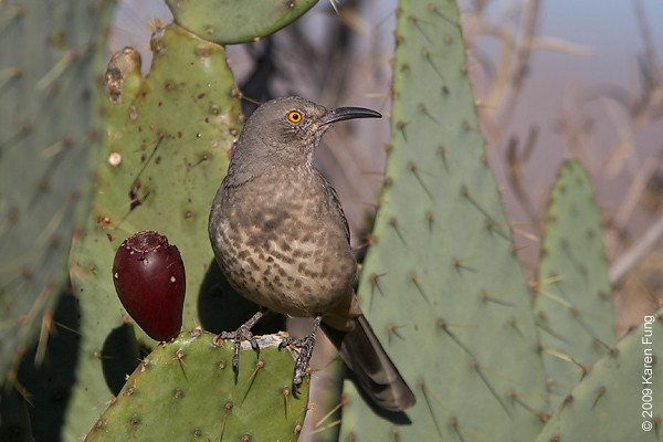 Nov 11th:  Curve-billed Trasher in the Cactus Garden.  A pair were known to frequent the area by the Visitors Center.