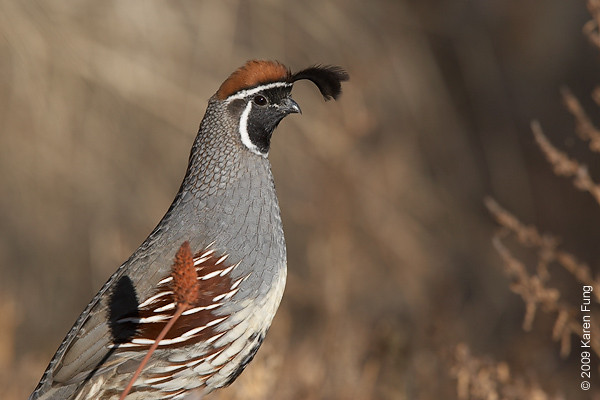 Nov 11th:  Gambel's Quail (male) in the Cactus Garden