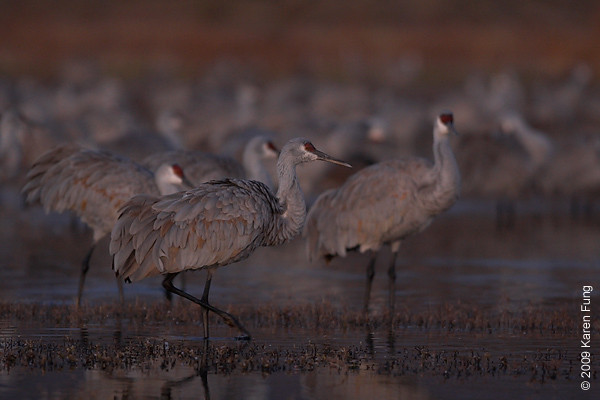 Nov 15th:  Sandhill Cranes at daybreak