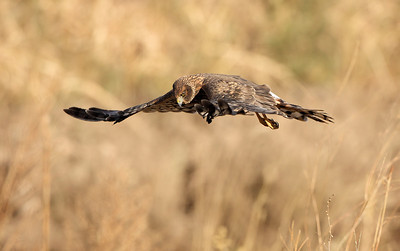 Northern Harrier 7