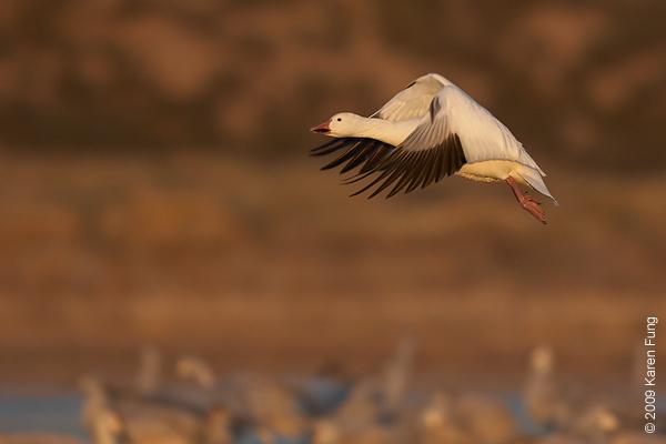 Nov 16th:  Snow Goose taking flight at dawn