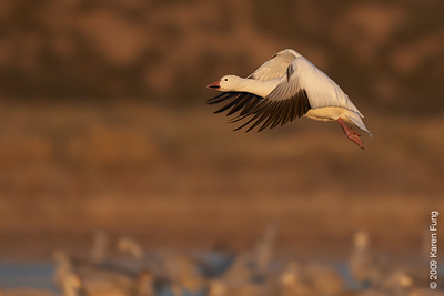 Nov 16th:  Snow Goose taking flight at dawn