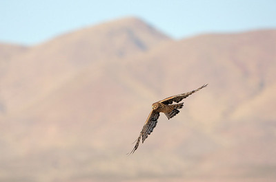 Northern Harrier 3