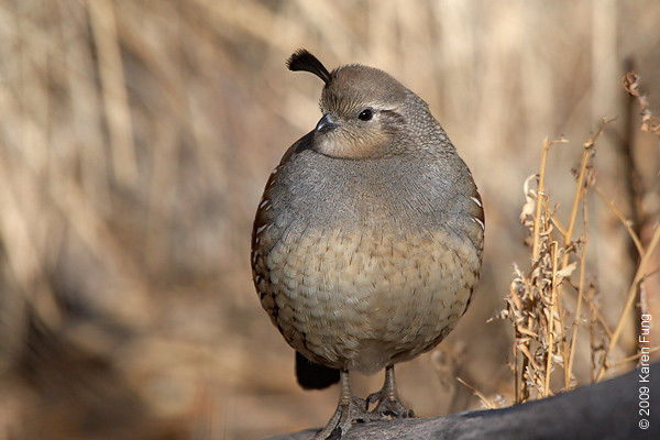 Nov 16th:  Gambel's Quail (female) in the Cactus Garden