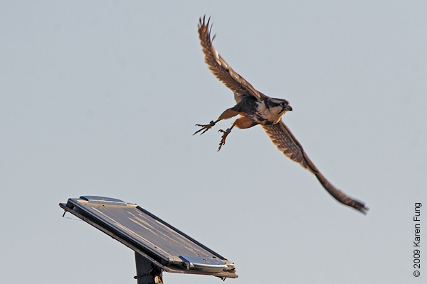 Nov 15th, 7:50am: Aplomado Falcon taking off.  Viewed from the Marsh Trail.  Lighting conditions were terrible, had to shoot into the sun on a very bright day.