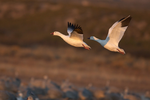 Nov 16th:  Snow Geese taking off at dawn