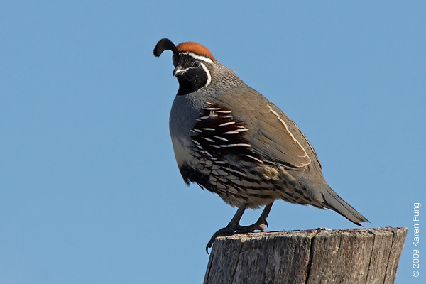 Nov 16th:  Gambel's Quail (male) in the Cactus Garden