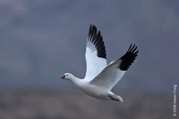 Nov 12th:  Ross's Goose in early morning light, ISO 800