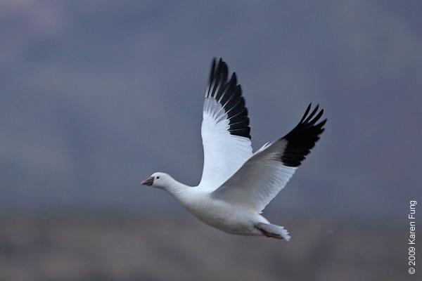 Nov 12th:  Ross's Goose in early morning light, ISO 800