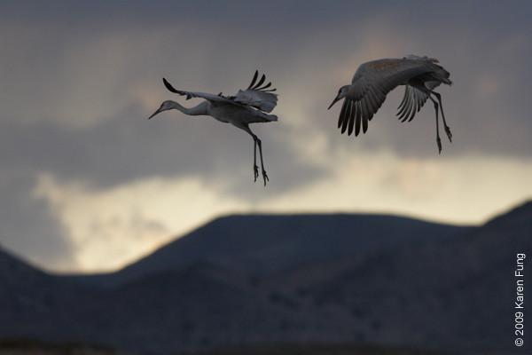 Nov 14th:  Sandhill Cranes tumbling from the sky at dusk
