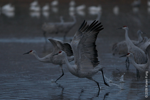 Nov 12th, 6:43am: Sandhill Cranes taking off before dawn