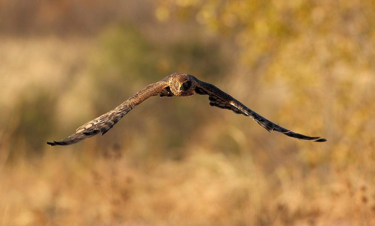 Northern Harrier 1