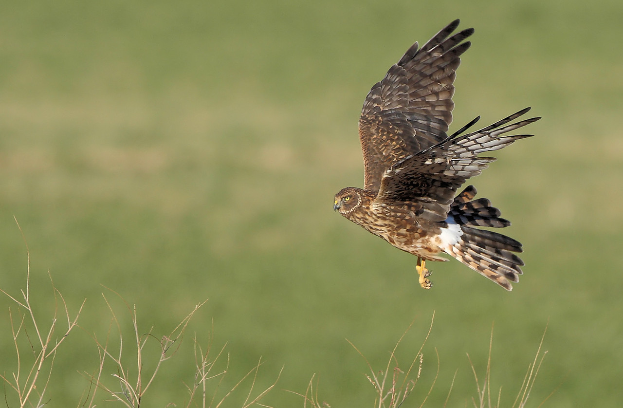 Northern Harrier 6
