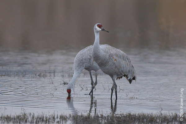 Nov 12th:  Sandhill Cranes on a cloudy afternoon