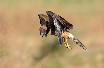 Northern Harrier 10