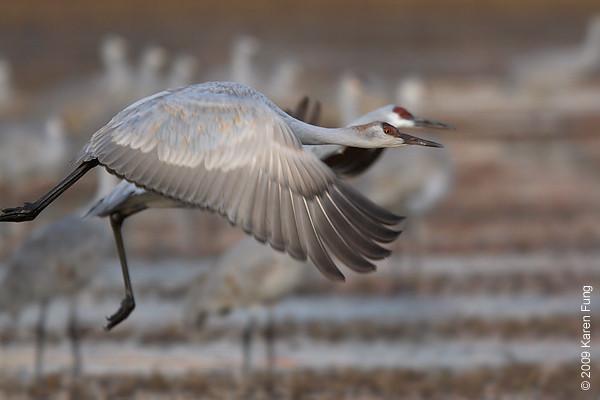 Nov 11th: Sandhill Cranes taking off at dawn