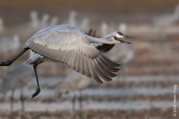 Nov 11th: Sandhill Cranes taking off at dawn