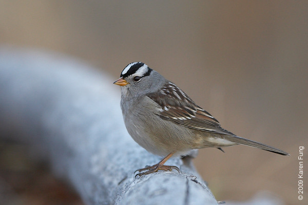 Nov 14th:  White-crowned Sparrow