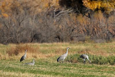 Sandhill Cranes 11