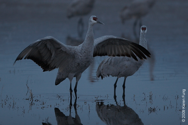 Nov 12th, 6:40am: Sandhill Crane stretching its wings before dawn