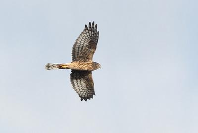 Harrier 1