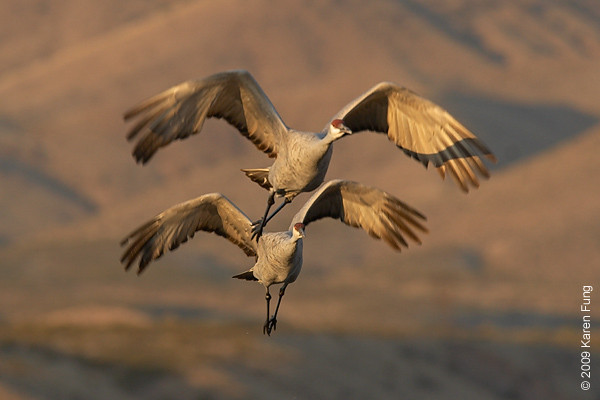 Nov 11th:  Sandhill Cranes in flight, shortly after dawn