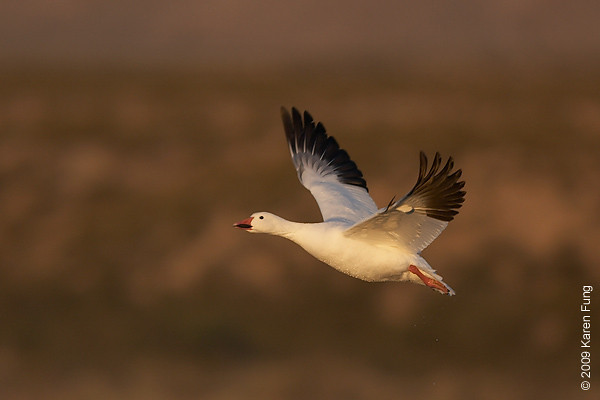 Nov 16th:  Snow Goose in flight at dawn