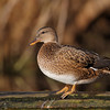 Duck on a Log 1