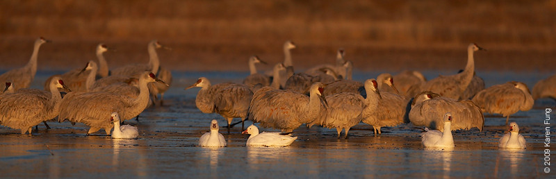 Nov 16th:  Sandhill Cranes and Snow Geese at dawn
