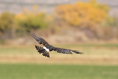 Northern Harrier 13