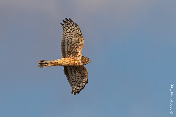 Nov 15th:  Northern Harrier along the Marsh Trail