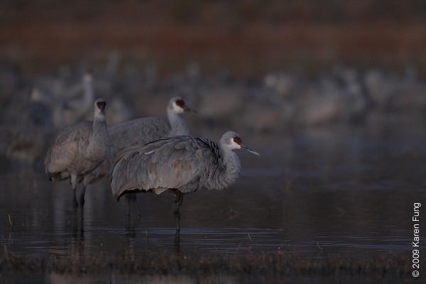 Nov 15th:  Sandhill Cranes before dawn