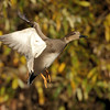 Duck Flight 1