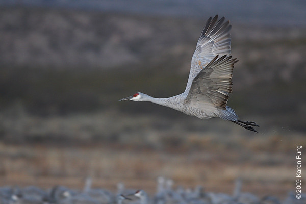 Nov 16th:  Sandhill Crane taking flight at dawn