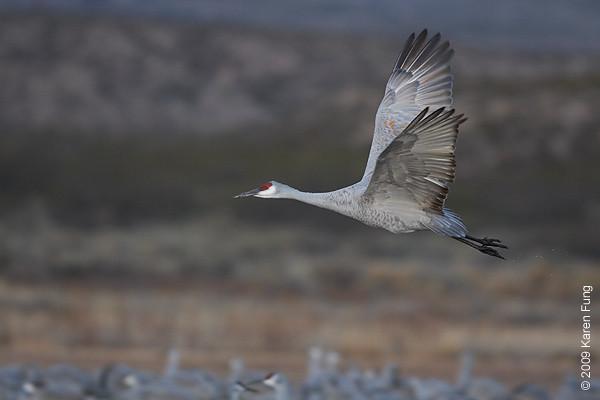 Nov 16th:  Sandhill Crane taking flight at dawn