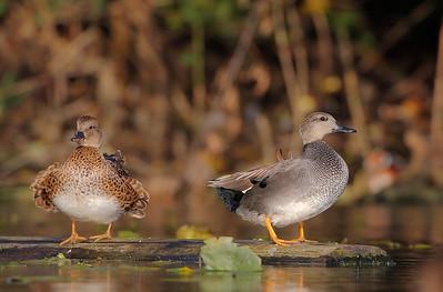 Ducks on a Log 1