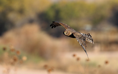 Northern Harrier 5