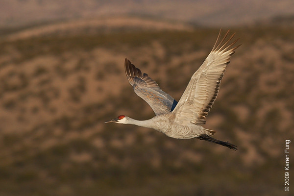 Nov 16th:  Sandhill Crane in flight at dawn