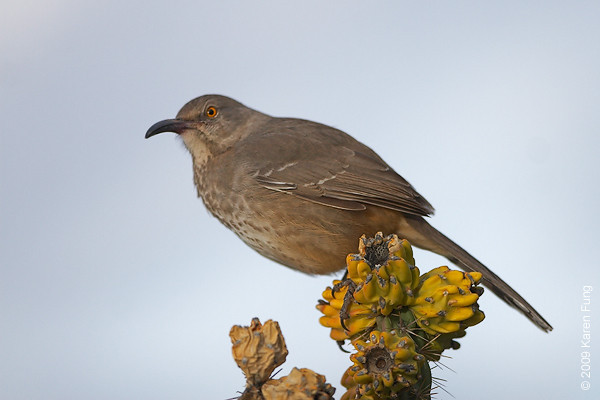 Nov 14th: Curved-bill Thrasher in the Cactus Garden