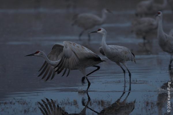 Nov 12th, 6:43am: Sandhill Cranes taking off before dawn