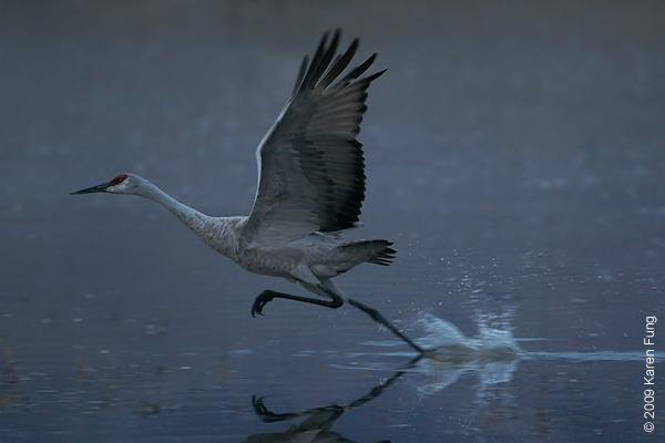 Nov 12th, 6:43am: Sandhill Crane taking off before dawn