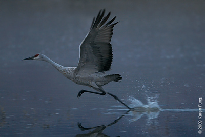 Nov 12th, 6:43am: Sandhill Crane taking off before dawn