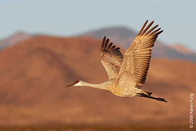 Nov 16th:  Sandhill Crane in flight at dawn